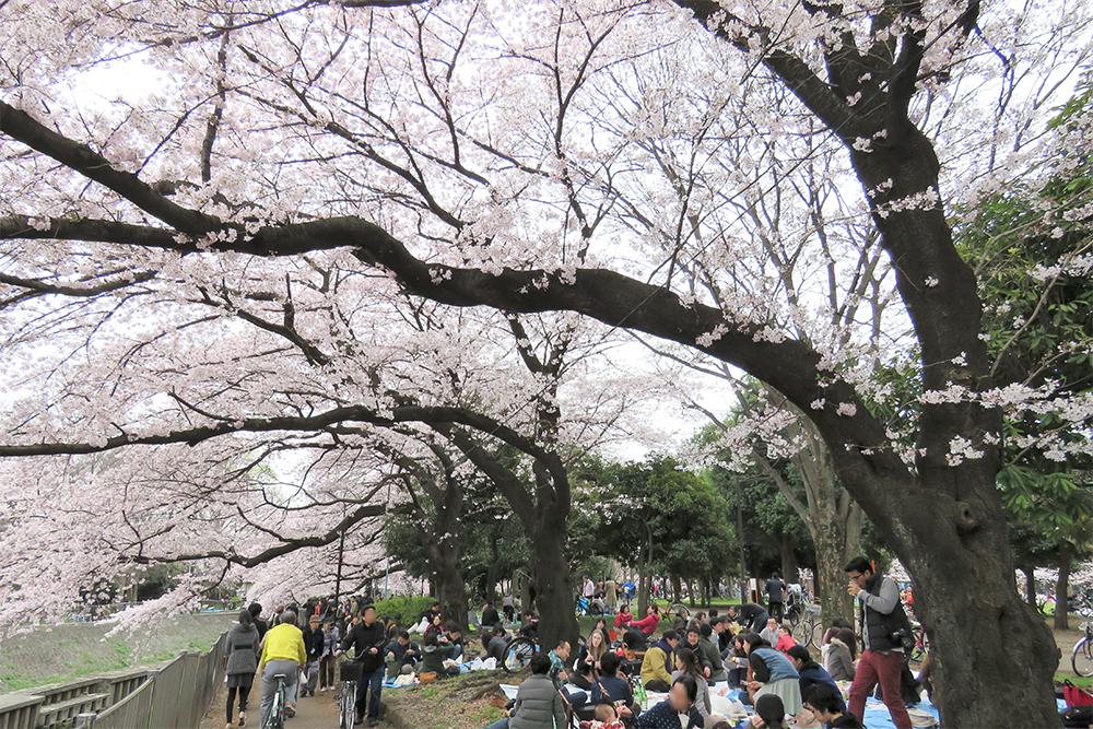 さて、2018年の善福寺川緑地の桜はどんな表情を見せてくれるのでしょうか。