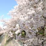 阿佐ケ谷駅から少し足をのばして、善福寺川緑地の桜を見に行く