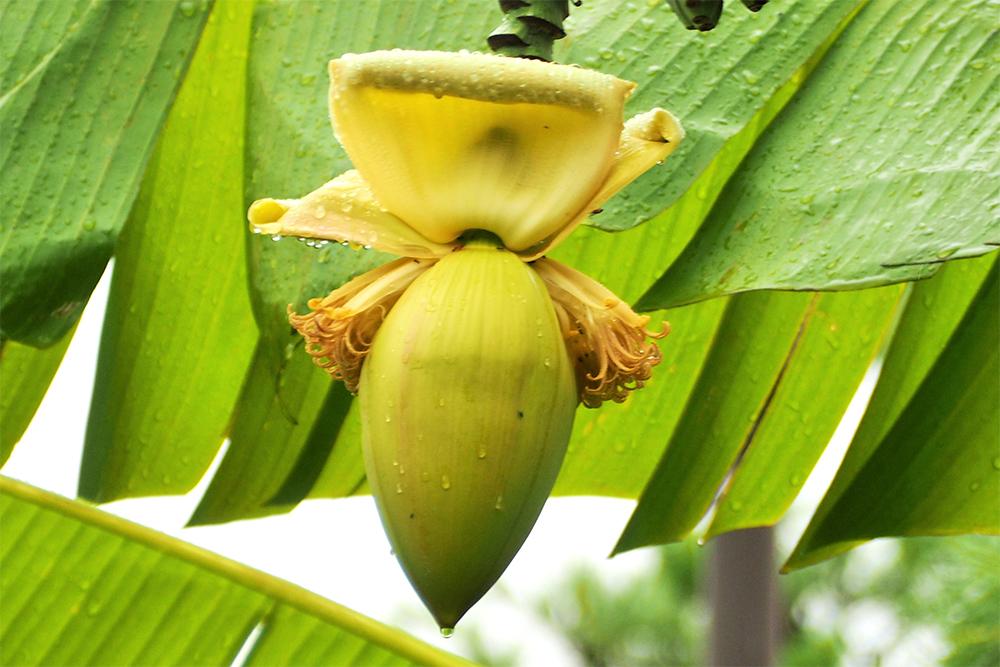 松尾芭蕉の俳号の由来でもある芭蕉の木。バナナのような実をつけます。